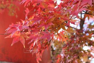 紅葉 - No.904911