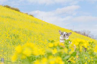 菜の花とチワワの写真・画像素材[1054361]