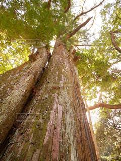 大木の写真・画像素材[1062248]