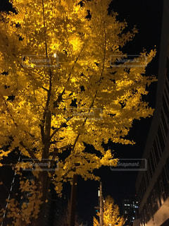 銀杏の写真・画像素材[905151]