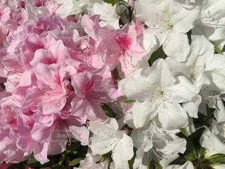 花の写真・画像素材[28625]