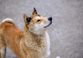 これでも野良犬の写真・画像素材[957976]