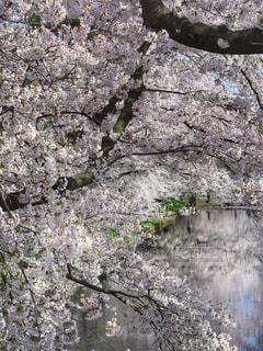 桜の写真・画像素材[906408]
