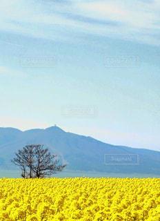 菜の花の写真・画像素材[913878]