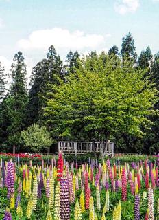 ルピナスの花の写真・画像素材[916783]
