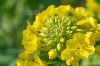 菜の花の写真・画像素材[909091]