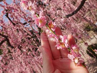 梅の花の写真・画像素材[1054950]