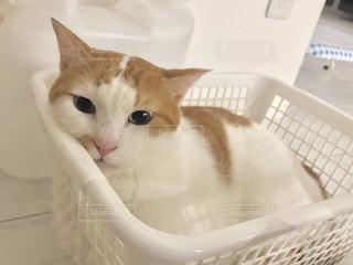 バスケットに座って猫の写真・画像素材[1451454]