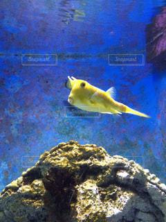黄色いフグと大きな岩の水中の写真・画像素材[907989]