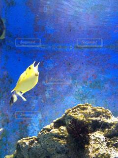 黄色いフグの写真・画像素材[907990]