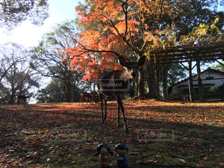 鹿と紅葉の写真・画像素材[908296]
