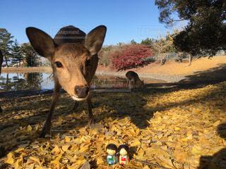 鹿と落ち葉と私達の写真・画像素材[908297]
