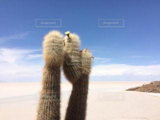 塩湖に生えるモコモコサボテンの写真・画像素材[909563]