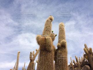 塩湖に生えるモコモコサボテンの写真・画像素材[909564]
