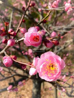 梅の花 - No.1012887