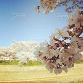 遠くの桜と近くの桜の写真・画像素材[1090367]