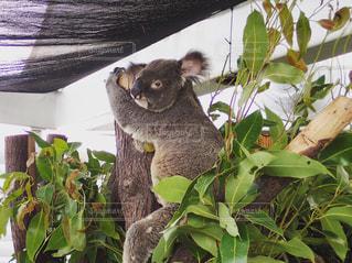 枝の上に座ってコアラ - No.909329