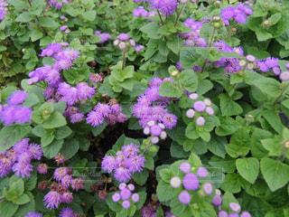 紫の花の房のアップの写真・画像素材[1041036]