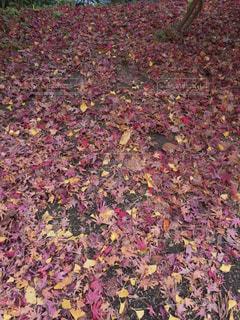 赤と紫の写真・画像素材[911007]