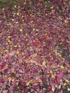赤と紫と黄色の星の写真・画像素材[911009]
