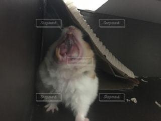ハムスターのあくびの写真・画像素材[911137]