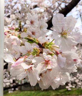 桜*の写真・画像素材[1701027]
