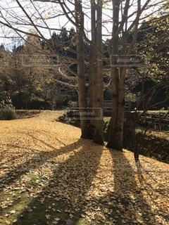 森の中の銀杏の写真・画像素材[1718477]