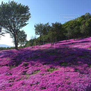 フィールドにピンクと紫の花 - No.912081