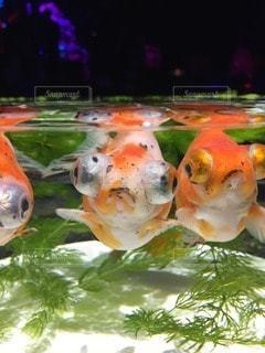 金魚 - No.28980