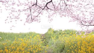 桜の額の中で - No.912746
