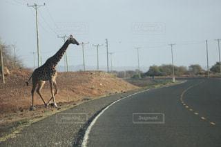 キリンは、未舗装の道路を交差させています。の写真・画像素材[912765]
