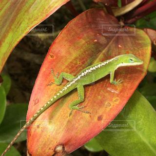 ハワイで会ったトカゲの全体の写真・画像素材[912801]