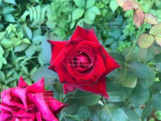 赤いバラの写真・画像素材[1839959]