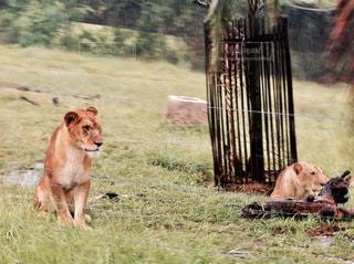 ライオンの写真・画像素材[952351]