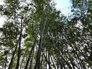 竹林の写真・画像素材[1077546]