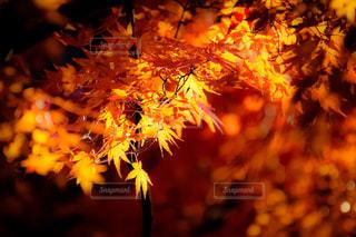楓の写真・画像素材[913596]