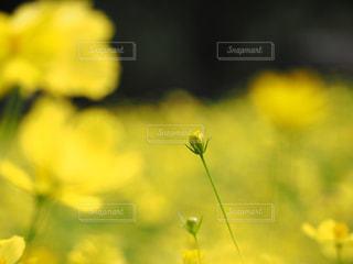 コスモスの写真・画像素材[1651903]