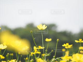 コスモスの写真・画像素材[1651904]