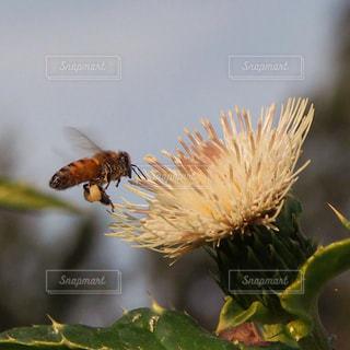 ミツバチとアザミの写真・画像素材[1188507]