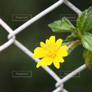 金網に咲く黄色い花の写真・画像素材[1188510]