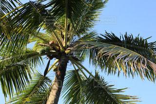 ヤシの木を見上げるの写真・画像素材[915474]