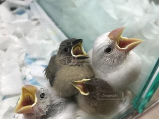 お腹が空いた雛たちの写真・画像素材[923181]