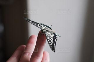 揚羽蝶の写真・画像素材[924640]