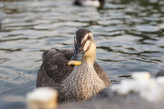水の中を泳ぐ鳥の写真・画像素材[929786]