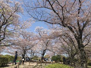 公園の桜の写真・画像素材[1099749]