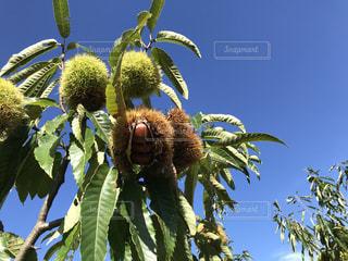 栗の木の写真・画像素材[1444575]
