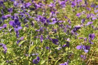なばなに広がる紫の花💐の写真・画像素材[917443]