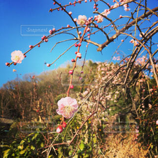 春・梅 - No.916002