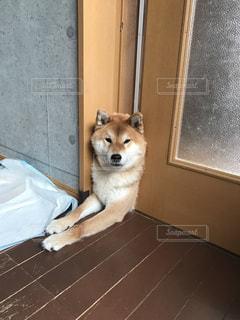 入りたいけど入れない柴犬の写真・画像素材[916094]