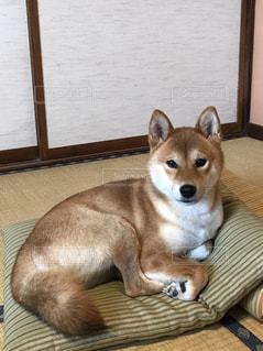 柴犬の写真・画像素材[916103]